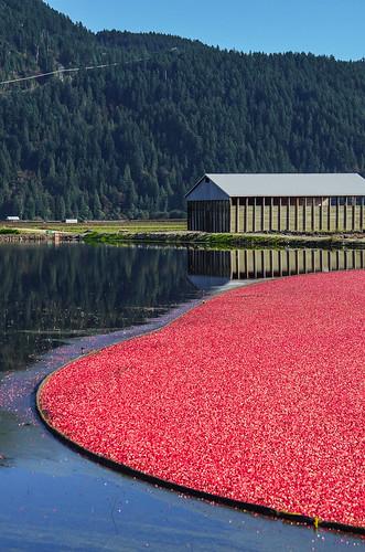 <p>Pitt Meadows, British Columbia, Canada<br /> Nikon D5100, 70-300 mm f/4.5-5.6<br /> October 6, 2013</p>