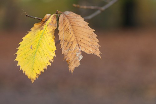 Jagged Edge (Autumn Leaves), Virginia Water by flatworldsedge