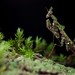 moss mantid (Haania sp.?) by pbertner