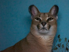 cougar, animal, pet, fauna, cat-like mammal, carnivoran, whiskers,