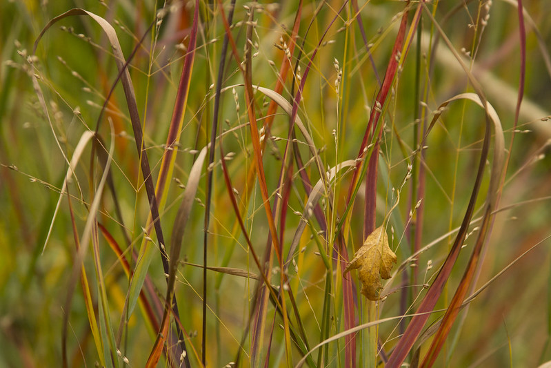 Panicum cheyenne sky leaves