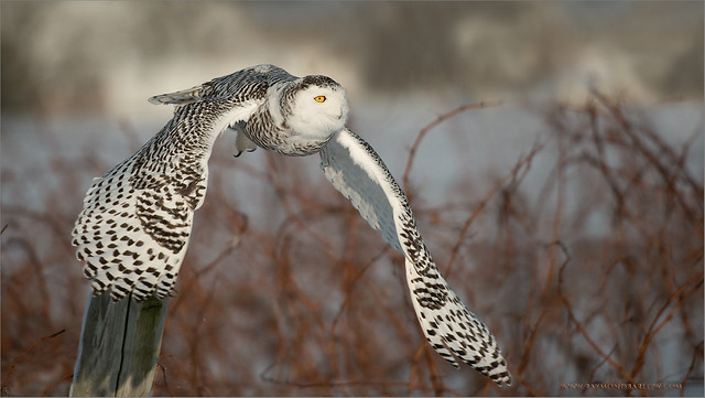 Snowy Owl in Flight - Raymond J Barlow