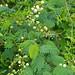 Small photo of River Climbing Thorn (Acacia schweinfurthii)