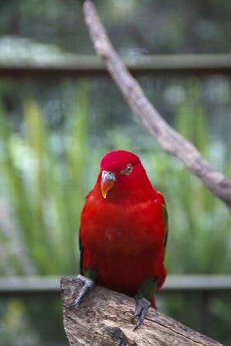 burung kakak tua