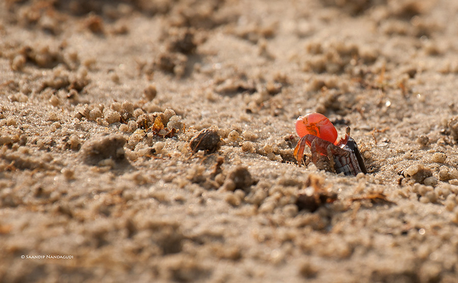 Red-Fiddler-Crab