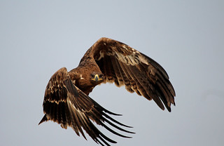 eagle focused (steppe or tawny?)