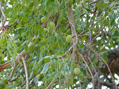 Marula (Sclerocarya birrea) fruits and leaves
