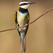 White-throated bee-eater by Hector16
