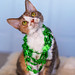 St. Patrick's Day cat by Abby Leigh photos
