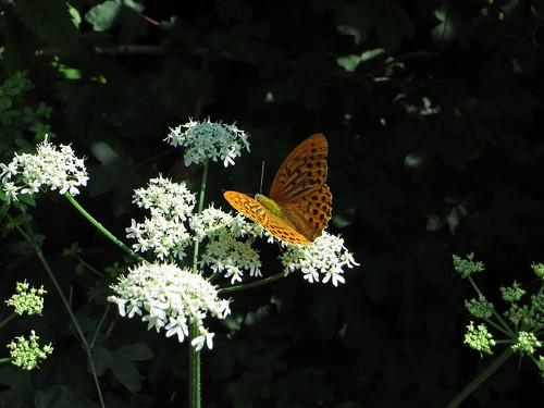 20130814 06 140 Jakobus Blüte weiß Blume Schmetterling gelb orange
