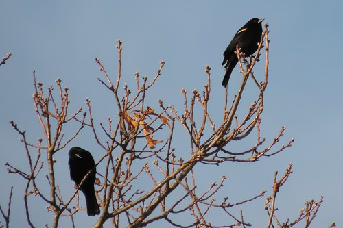#33 Red-winged Blackbird ( Agelaius phoeniceus)