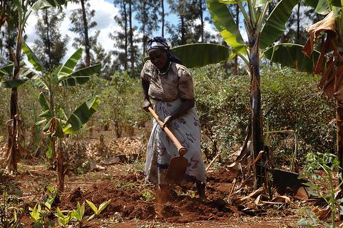 耕作中的肯亞婦女。(圖:CIMMYT)