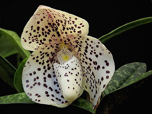 Orchid Glory - Orchideenpracht - Esplendor de orquídeas 21