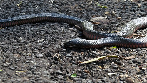 Red-bellied Black Snake on the road