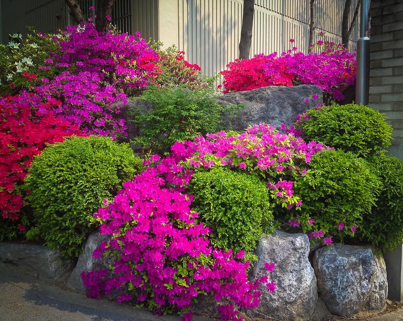 Spring Flowers Daejeon