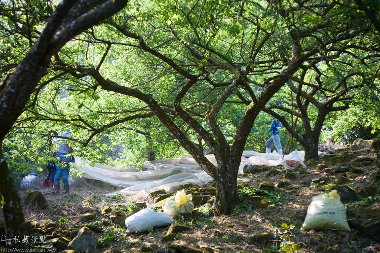 台南私藏景點--南化採梅 (2)