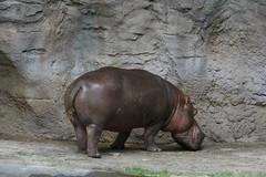 Hippopotamus on Kilimanjaro Safari - Animal Kingdom - Walt Disney World
