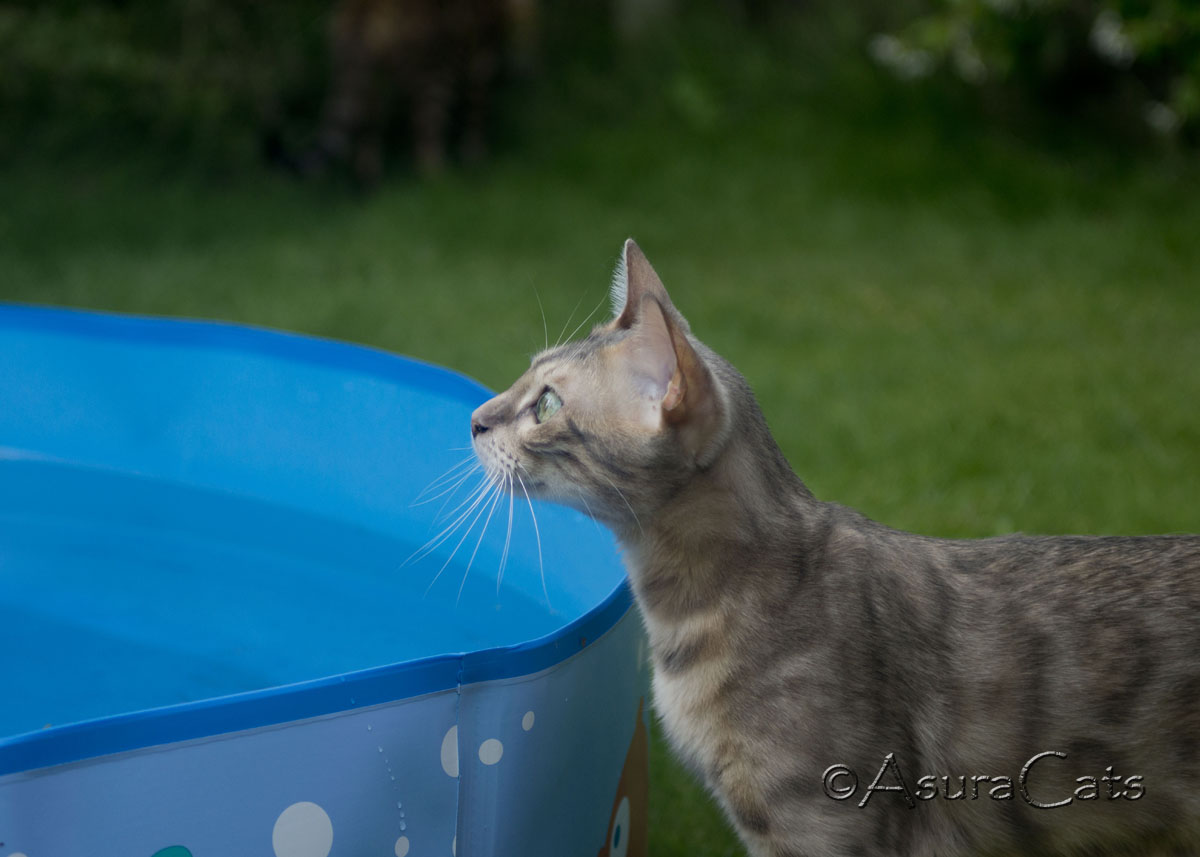 LynxLand Amaiah of AsuraCats - Blue Rosetted Bengal