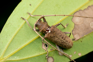 Flat-Faced Longhorn Beetle (Acalolepta sp.) - DSC_0918