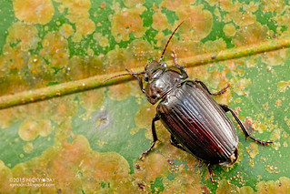 Ground beetle (Carabidae) - DSC_8136