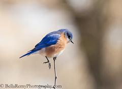 Bluebird Balancing Act