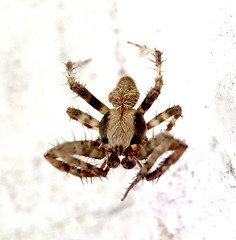 Male Spotted Orb Weaver spider (Neoscona crucifera); Mount Rainier, PGC, Maryland; Sep 6, 2014