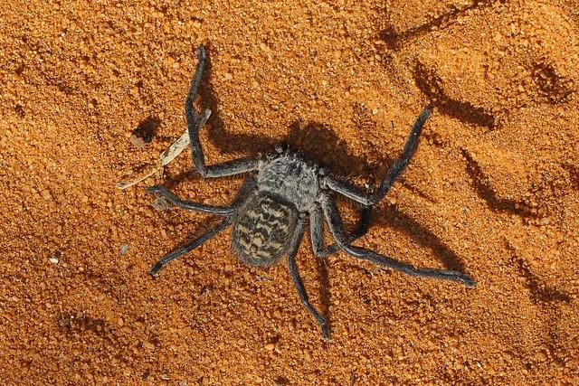 Huntsman Spider (Damastes sp), Ifaty, Madagascar