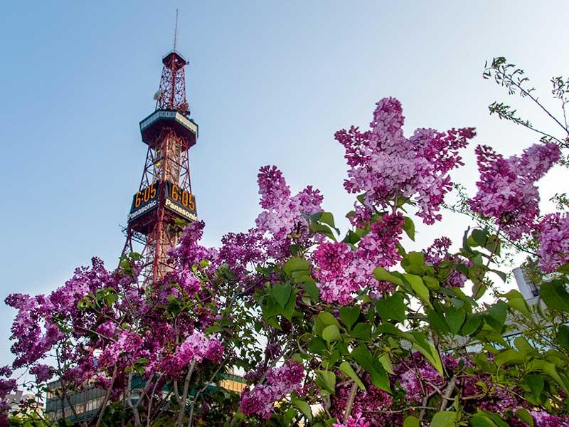 テレビ塔とライラック