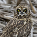 short eared owl by Pattys-photos