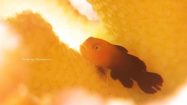 中学生くらいのダルマハゼ幼魚♪