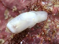 オオコメツブ属の一種 Acteocina sp.