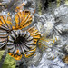 steel daffodil