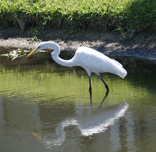 Egret Sees His Lunch ..........