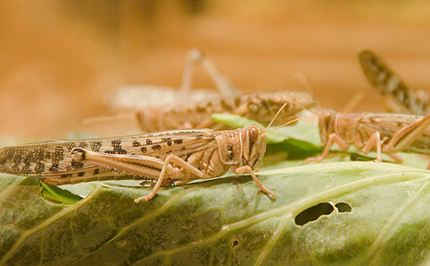蝗蟲個體危害不大,然而一旦成群結隊就變成了植物殺手。圖片來源:swh