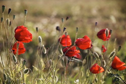Red poppies in Tuscany [Explore #6 17-06-2013]