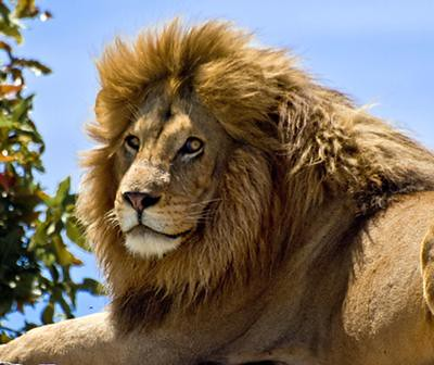 lion-mane-21346025