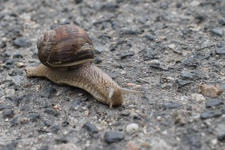 Escargot de course, au ras du sol