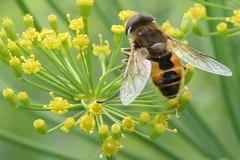 pollinator 038