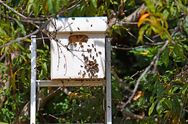 The Bees Figure out where the Queen is, Tenerife