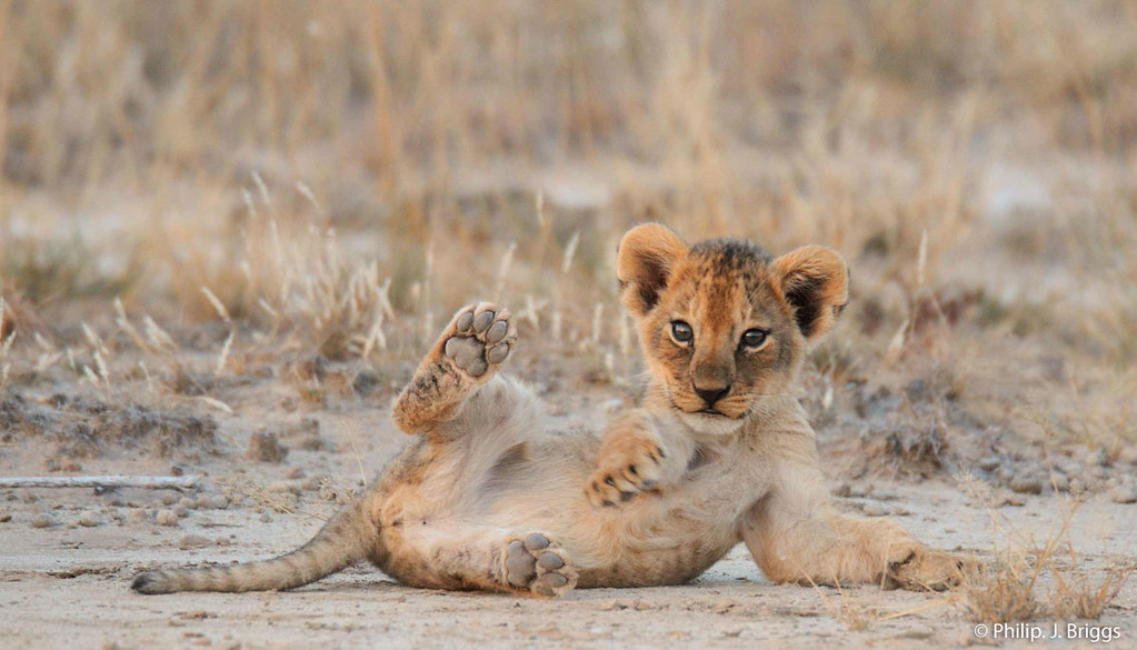 Sadly, Lions have disappeared from over 80% of their historic range. But Project Leonardo is Panthera's solution to protecting & increasing the world's remaining wild lions. Learn more about the program @ bit.ly/cVwOEJ More of Briggs' beautiful photography @ bit.ly/12oYBl1
