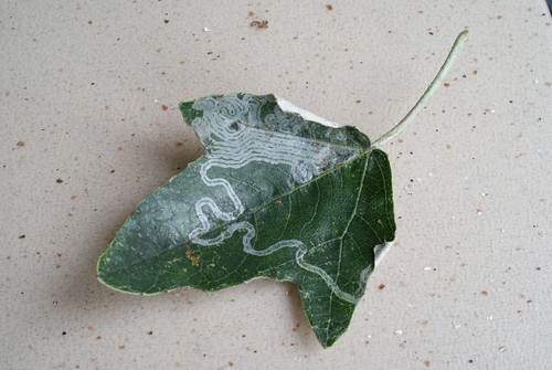 Phyllocnistis xenia leaf mine on Populus