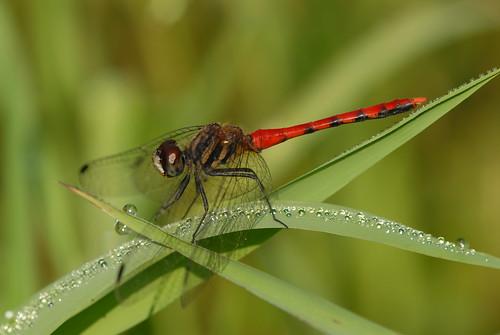 纖紅蜻蜓。(圖片來源:林試所)