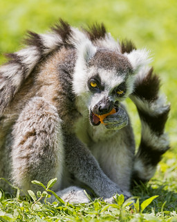 Lemurs Eating Meat Catta Lemur Eating