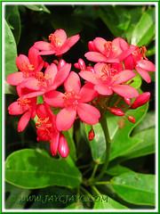 Jatropha integerrima (Spicy Jatropha, Peregrina) with attractive cluster of red flowers, Sept 27 2013