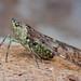 Lantern Bug (Dichoptera sp.) IMG_2084 copy by Kurt (OrionHerpAdventure.com)