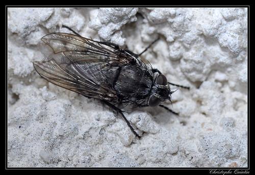 Pollenia sp. femelle (Pollenia vagabunda ?)