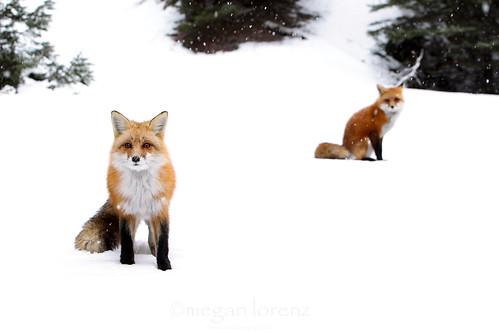 Fox Pair by Megan Lorenz