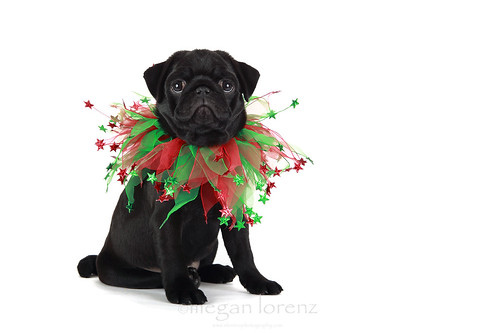 Festive Pug by Megan Lorenz