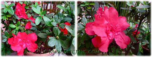 Rhododendron simsii or Azalea indica (Sim's/Indian/Chinese Azalea), 24 Dec 2013