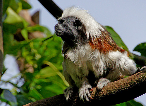 Cotton top tamarin monkey.